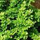 Барбарис карликовый Greenkarpet