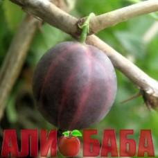 Крыжовник Неслуховский