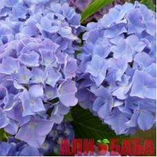 Гортензия Блауэр Цверг (Blauer Zwerg), голубая