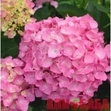 Гортензия Фройденштайн (Freudenstein), розовая