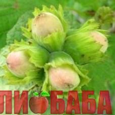 Фундук Трапезунд