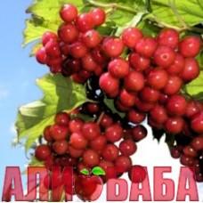 Калина Радужная