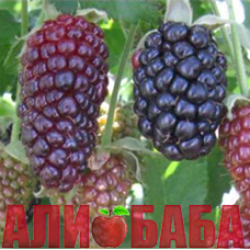 Ежевика Блэк Бат