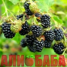 Ежевика Блэк Сатин (безшипная)