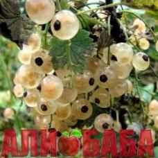 Смородина Белая Смольяниновой