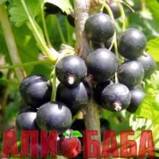 Смородина черная Краса Львова
