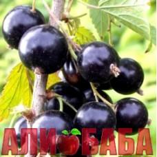Смородина черная Киевский Великан