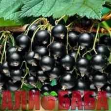 Смородина черная Титания