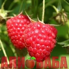 Малина Химбо Топ