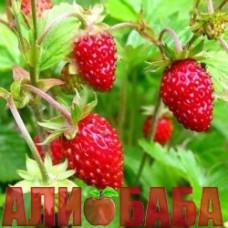 Земляника Али-Баба
