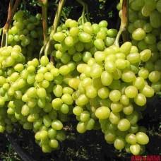 Виноград белый Аркадия