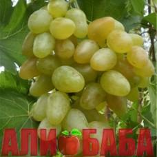 Виноград белый Монарх