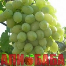Виноград белый Благовест
