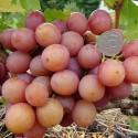 Виноград розовый Ливия