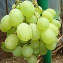 Виноград белый Маэстро
