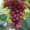 Виноград розовый Водограй