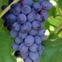 Виноград черный кишмиш Юпитер