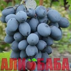 Виноград черный Забава