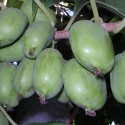 Актинидия (киви) Крупноплодная (женская)