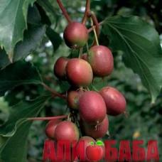 Актинидия (киви) Пурпурная