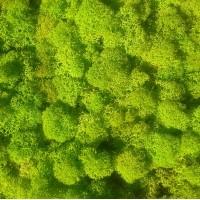Зеленый ВЕСЕННИЙ стабилизированный мох ягель