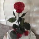 Роза Бель