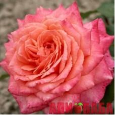 Роза Альбречт Дюрер