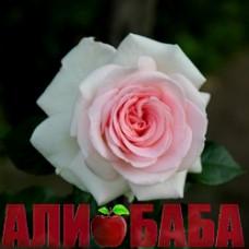 Роза Александр Пушкин (Принц Жардиньер)