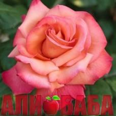 Роза Кристофор Колумб
