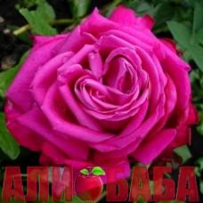 Роза Дуфтрауш