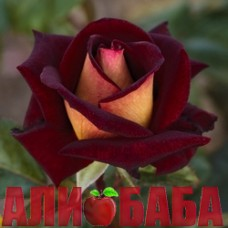 Роза Эдди Mитчел
