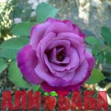 Роза Фрагрант Плюм