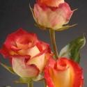 Роза Френдли