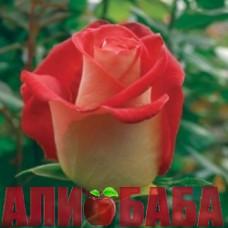 Роза Френдшип