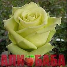 Роза Грин Ти