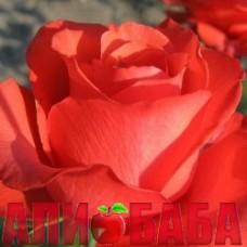 Роза Жемчужина Гольштейна