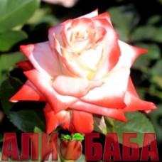 Роза Императрис Фара