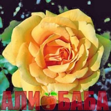 Роза Купферконигин