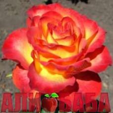 Роза Лина