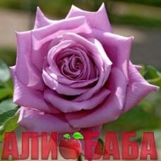 Роза Мами Блю