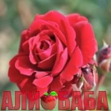 Роза Нахелглут (Джаз)