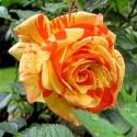 Роза Пападжена