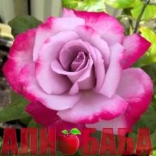 Роза Парадиз