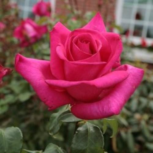 Купить саженец розы пароле почтой купить розы нижний новгород