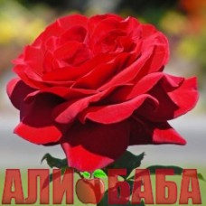 Роза Роял Вильямс