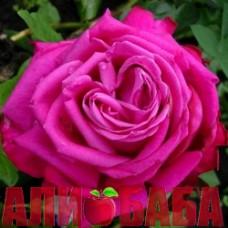 Роза Сентер Рояль