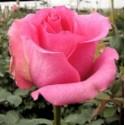 Роза Шокинг Версилия