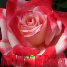 Роза Танго