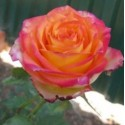 Роза Утопия