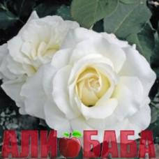 Роза Уайт Симфони